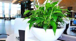 hortikultura.mk_spathiphyllum