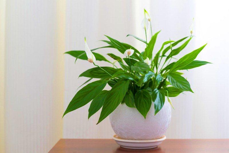 hortikultura.mk_spathiphyllum_2