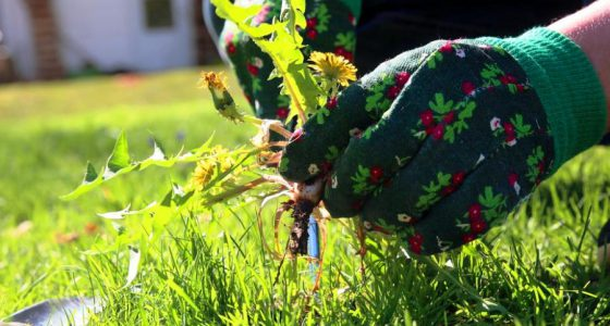 hortikultura.mk_suzbivanje na pleveli vo trevnik_1
