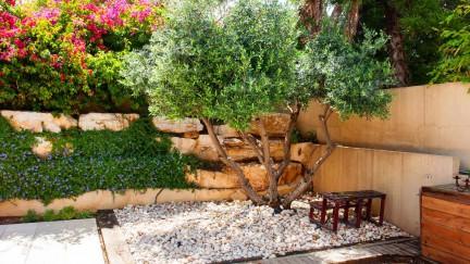 Маслинка | Тајните во одгледувањето на ова медитеранско дрво (прв дел)