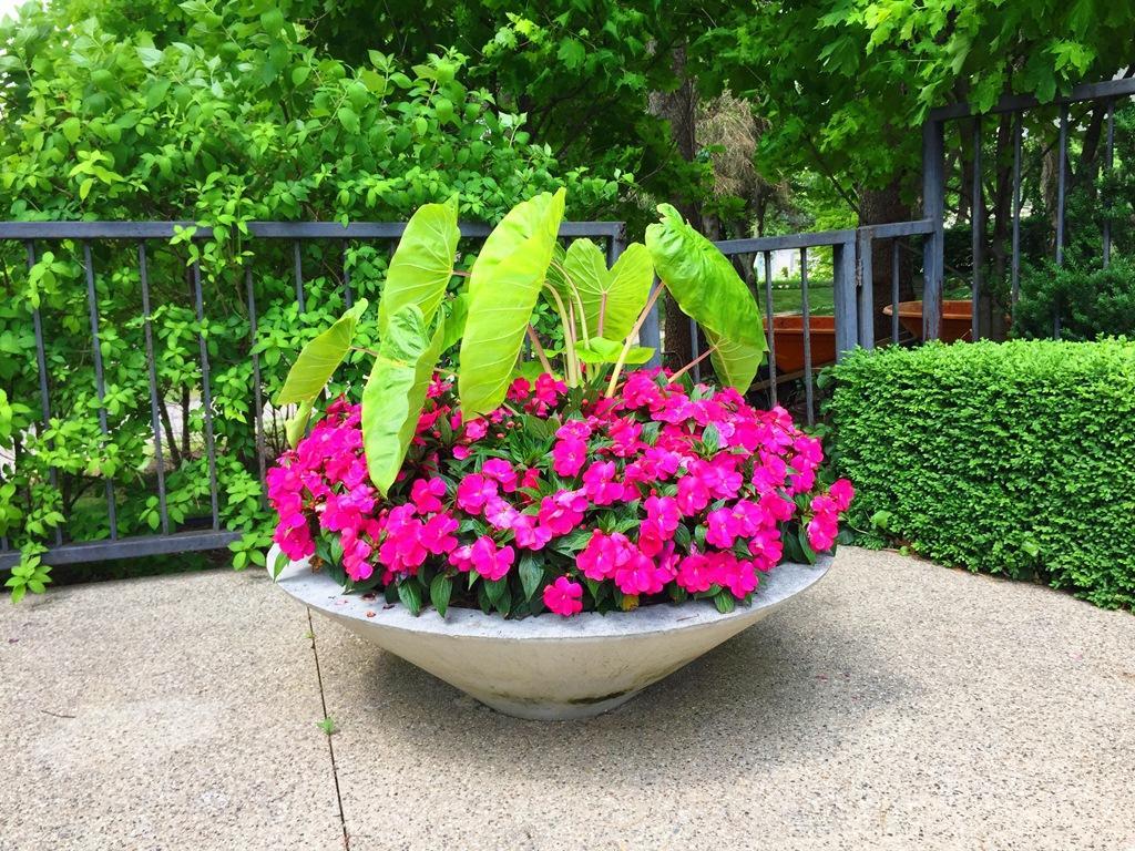 Нова гвинеја: Цвеќе кое е атракција за секој балкон