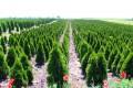 Како се произведуваат украсни дрвја и грмушки во расадници?