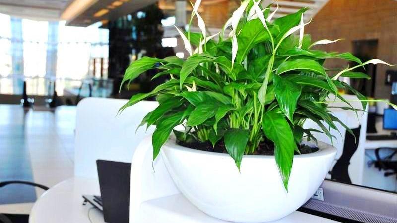 Спатифилум │ Елегантна собна билка за прочистување на воздухот