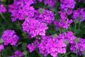 ВЕРБЕНА: Едно е најубавите пролетни цвеќиња